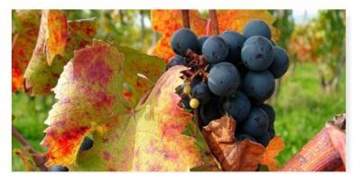 В 2010 году итальянские виноделы произвели почти 5 миллиардов литров вина